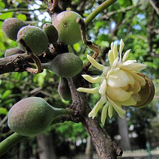 Eupomatia laurina - Native Guava or Bolwarra